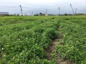 ヘアリーベッチの防草効果が比較できる画像