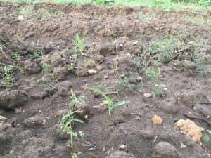 トウモロコシ、ゴールドラッシュ90の発芽