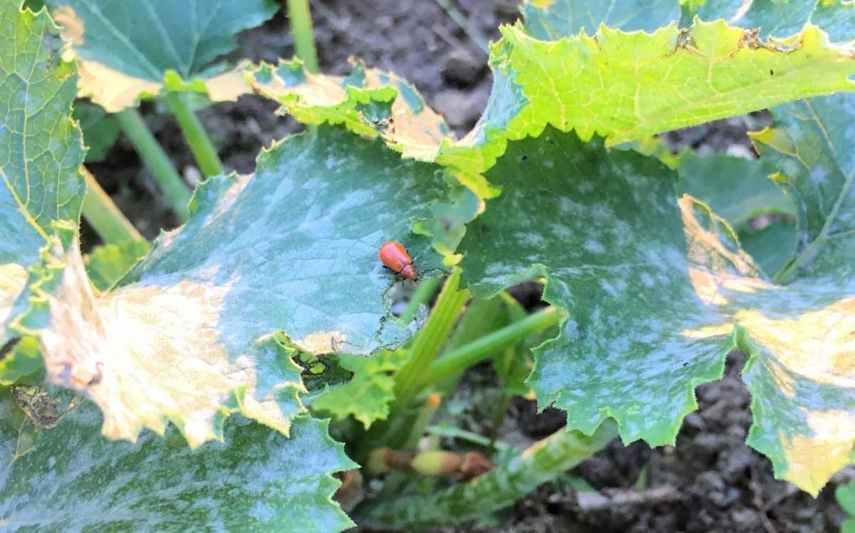 ズッキーニの葉の上でくつろぐウリハムシ