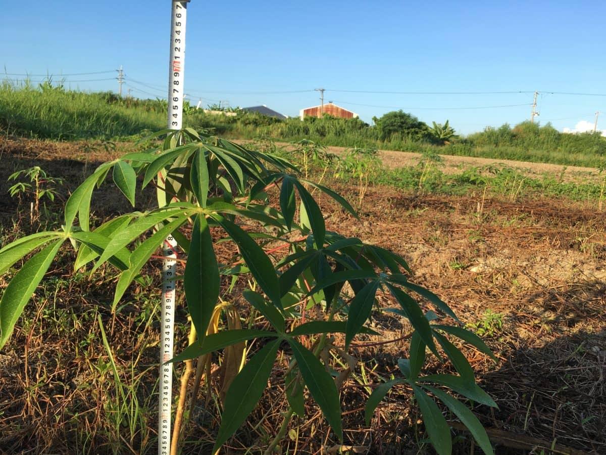 植付け8ヶ月で60cmまで成長したキャッサバ