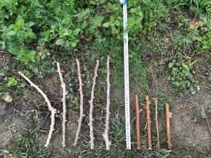 黄色種キャッサバの挿木と、しらかわファームさんから分けていただいたキャッサバ挿木