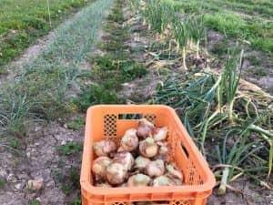 定植から168日で収穫できた無農薬&無施肥タマネギ